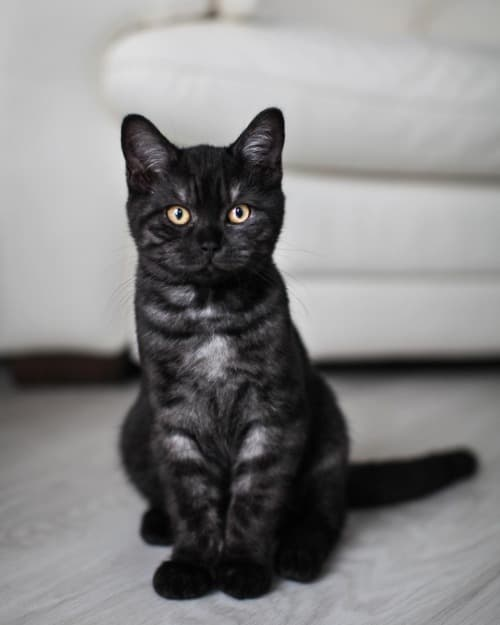 black tabby