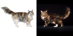 Maine Coon vs Norwegian Forest Cat: Key Differences Written by Maine Coon Central in Breed