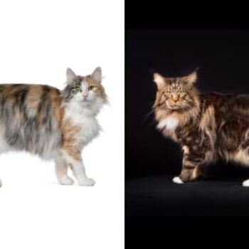 Norwegian Forest Cat vs Maine Coon