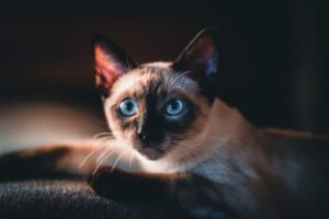 purrfect siames cat names