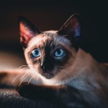 Purrfect Siamese Cat Names