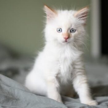 White Cat Names for Your Snowball