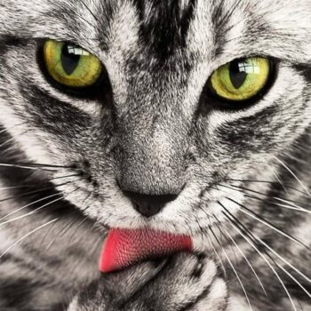 Gorgeous Grey and White Cat Breeds