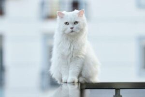 Cat Coat White Cats and White Spotting