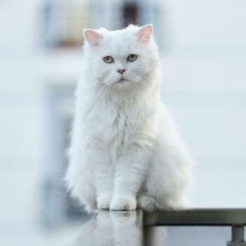 Cat Coat: White Cats and White Spotting