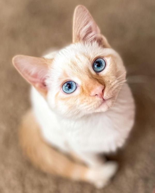 What Does A Flame Point Siamese Look Like?