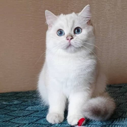 Silver point cat