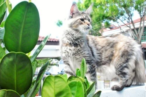 Silver tortoiseshell cat