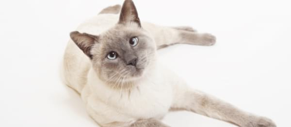 Interesting Facts about the Lilac Point Siamese Cat