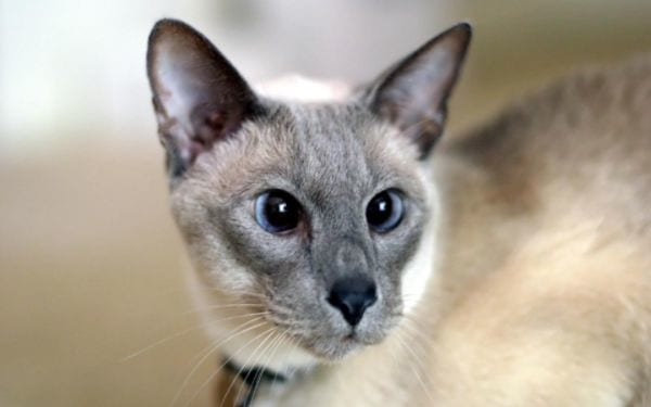 Lilac Point Siamese Appearance
