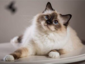 Long haired Siamese Full Profile and History
