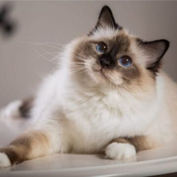 Long haired Siamese (Balinese)
