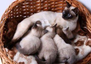 Siamese Cat Price