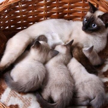Siamese Cat Price: How Much Do Siamese Cats Cost?