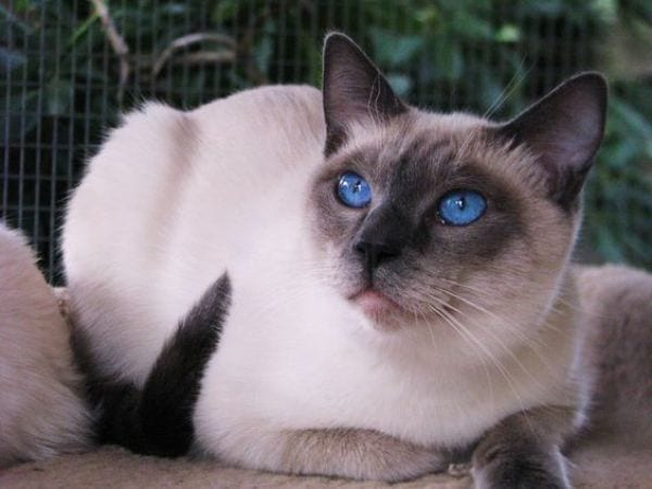 What does a Blue Point Siamese cat look like?