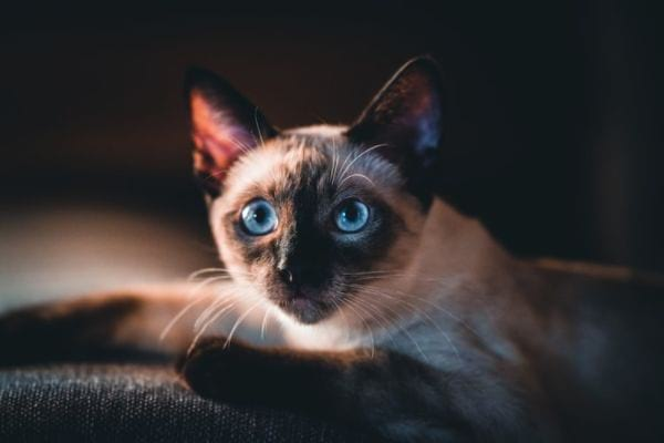 Where Can I Buy A Siamese Cat