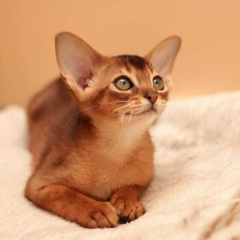 11 Orange Cat Breeds Every Tabby Lover Should Know About