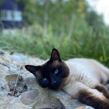 All About Chocolate Point Siamese Cats