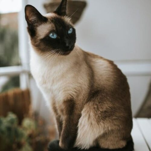 Applehead Siamese Traits and Facts
