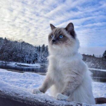 Popular & Unique Ragdoll Cat Names