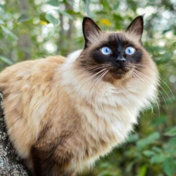 Blue Eyed Cat Breeds That Are Hard to Resist