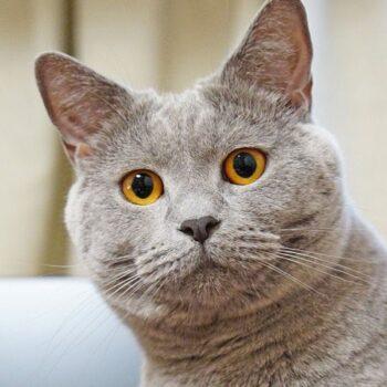 Gorgeous Grey Cat Breeds