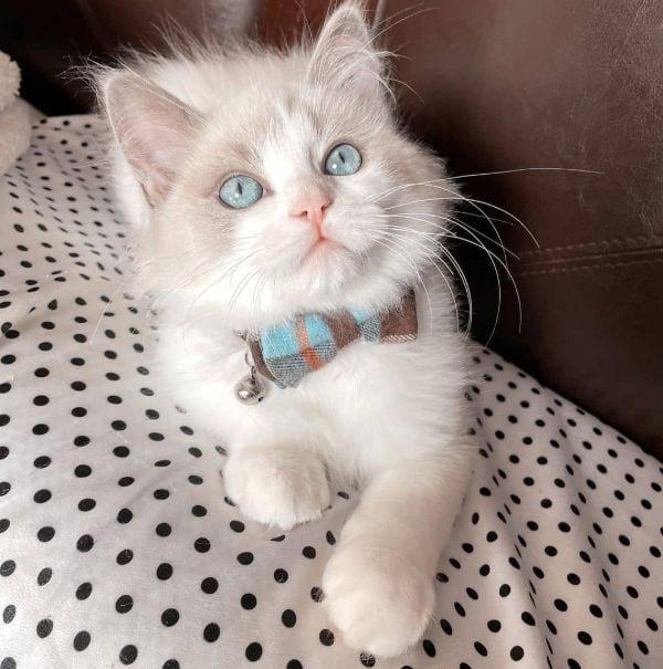 Cream Color Ragdoll Cat Names