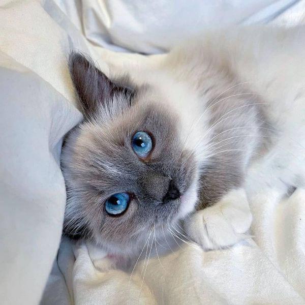 Cute Cat Names for a Ragdoll Cat
