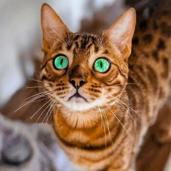 Awesome Male and Female Bengal Cat Names