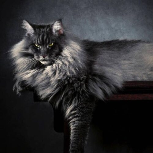 Maine Coon fluffy cat breed