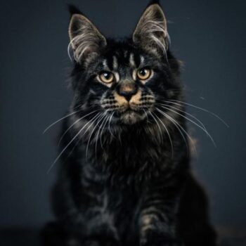 The 10 Largest Domestic Cat Breeds