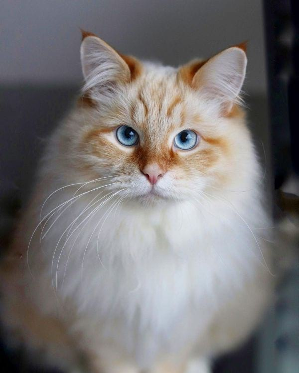 Norwegian Forest Cat (aka Skogkatt)