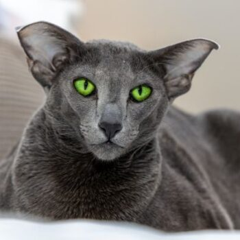 10 Cat Breeds That Don't Shed