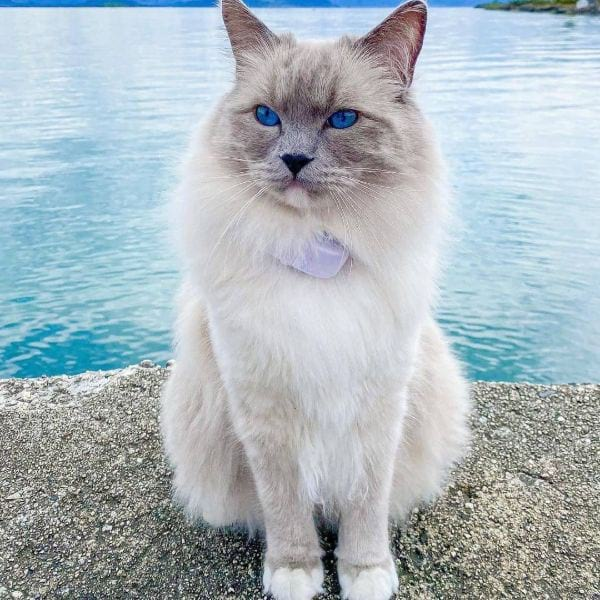 Ragdoll Cat Blue Eyes Names