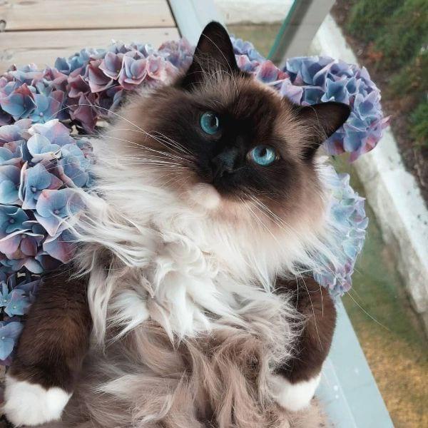 Ragdoll Cat Names Female Ideas