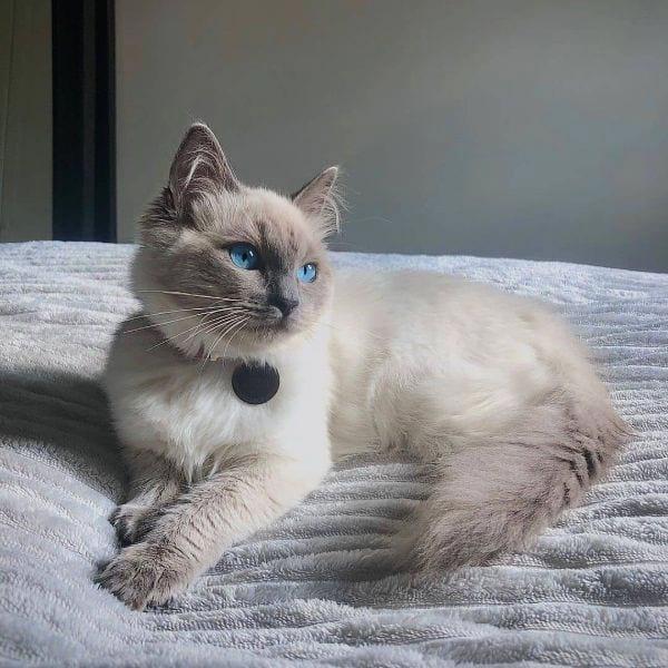 Ragdoll Cat Names Male Ideas