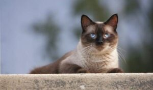 Seal point Siamese Cats In-depth Review