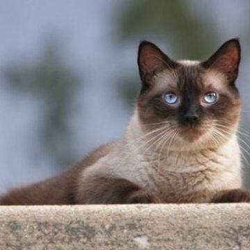 Seal point Siamese Cats: In-depth Review