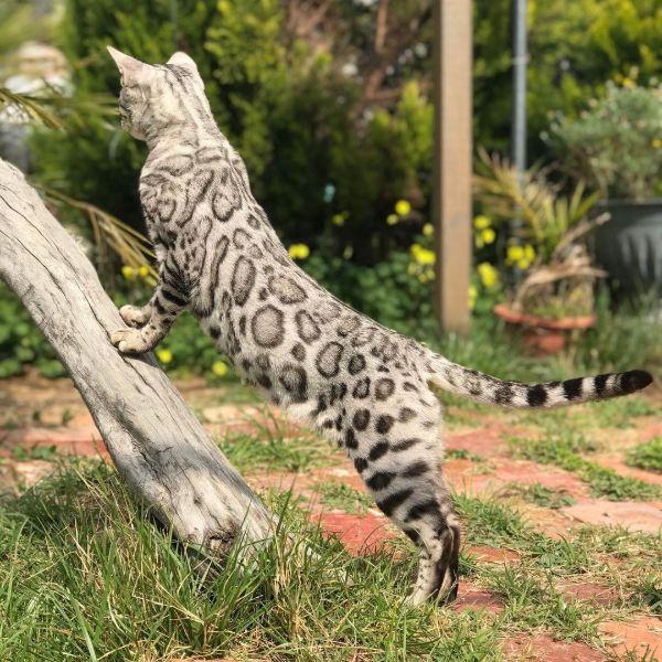 Silver Bengal Cat Names