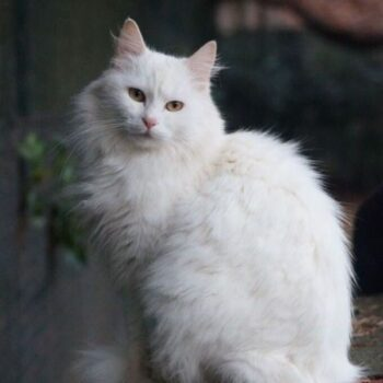 White Cat Breeds that Will Steal Your Heart