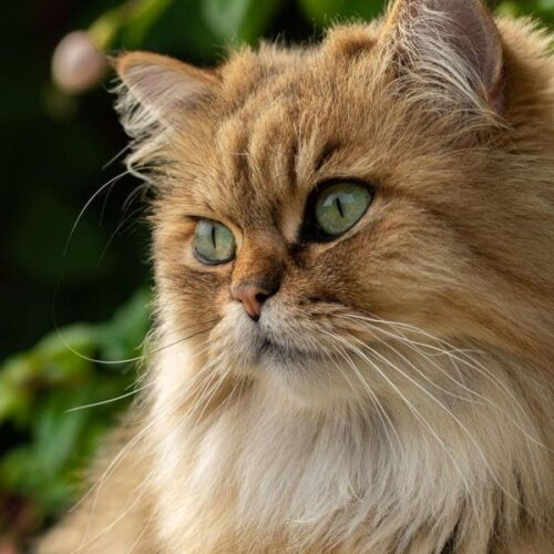 Cats Breeds with Big Eyes You'll Fall For