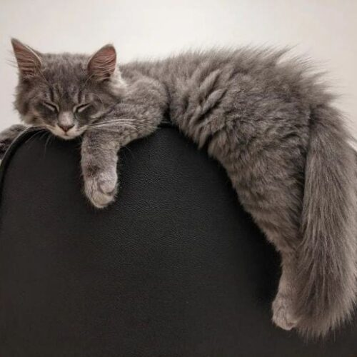Grey Tabby Cat - Amazing Facts You Should Know
