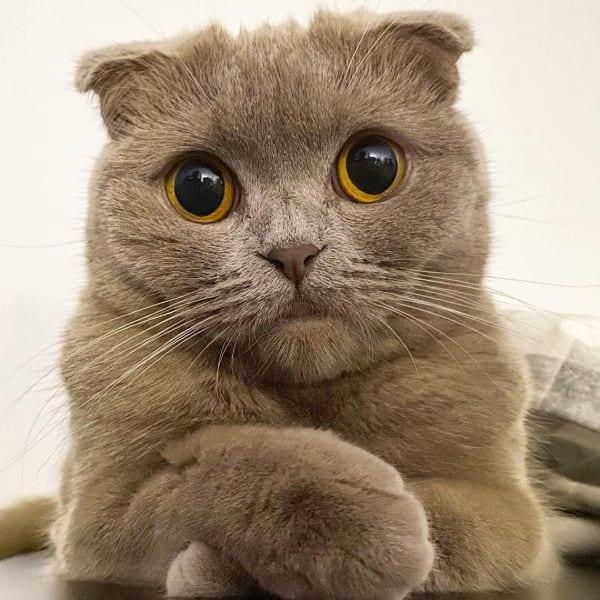 Scottish Fold Cat Breed