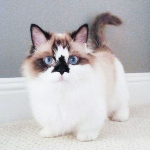 9 Absolutely Adorable Short Legged Cats