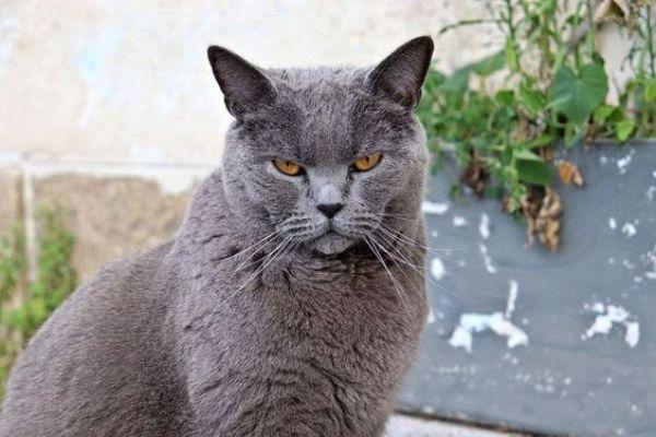 Chartreux Cat