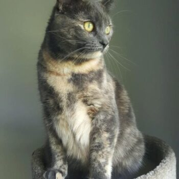 Dilute Tortoiseshell Cats – Everything You Should Know