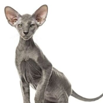 Rare Cat Breeds You'll Fall in Love with