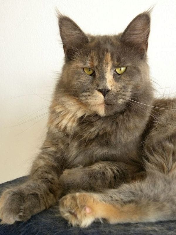 Unique Facts About Dilute Tortie Cats