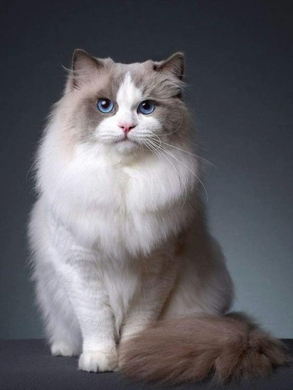 Bicolor Pattern of a Ragdoll cat