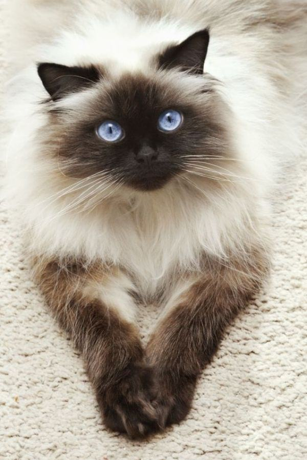 Colorpoint Ragdoll Pattern